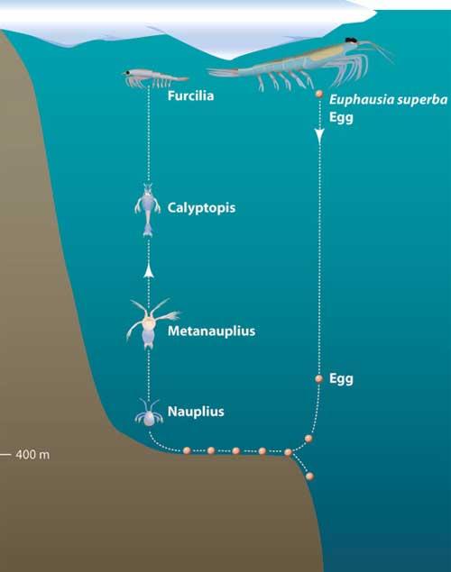 ciclo de vida del krill
