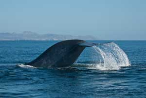 cola de ballena azul