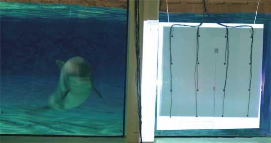 delfín examina la pantalla con ecos