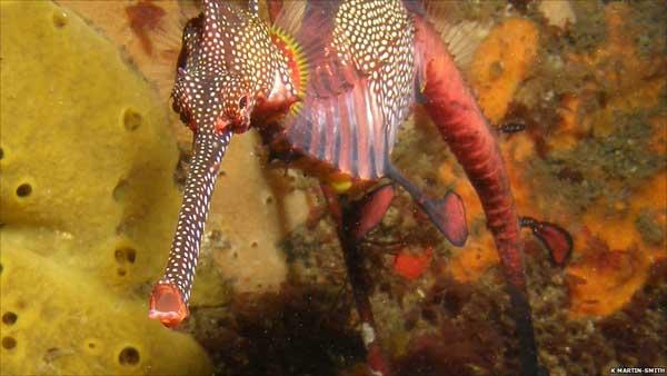 dragón de mar (Phyllopteryx taeniolatus)