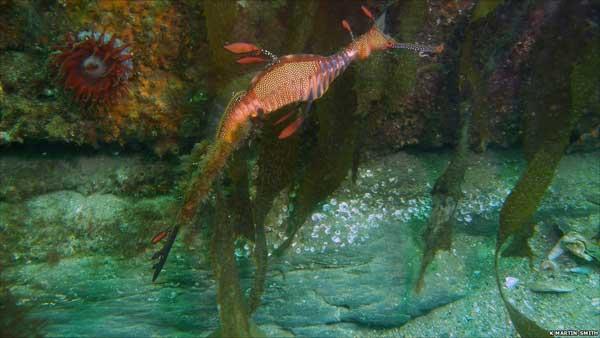 dragón de mar junto a uns algas