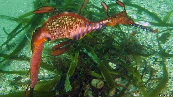 dragón de mar transportando los huevos en la cola