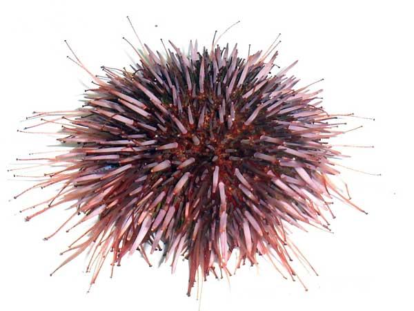 erizo de mar púrpura (Strongylocentrotus purpuratus)