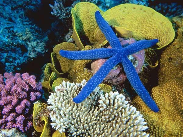 estrella de mar azul en un arrecife de coral