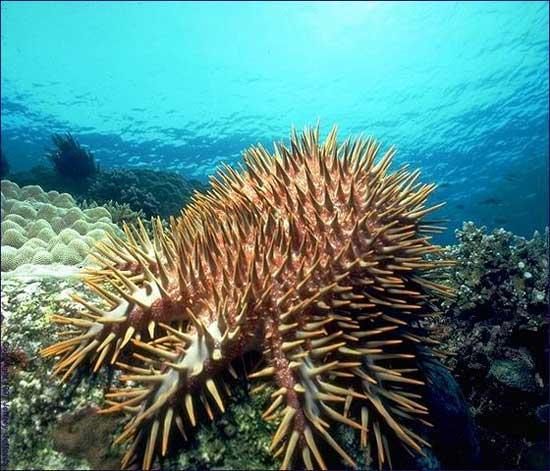 estrella de mar corona de espinas (Acanthaster planci)