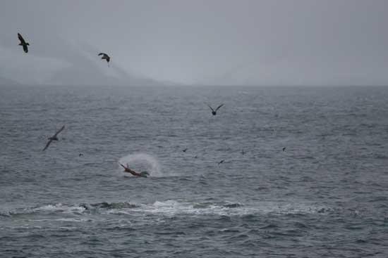 foca leopardo cazando