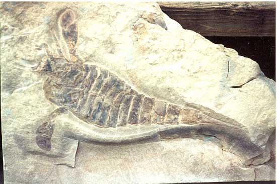 fósil de escorpión euriptérido