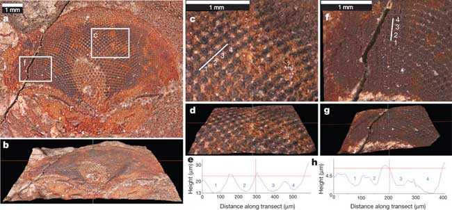 fósil de ojo organismo marino del Cámbrico