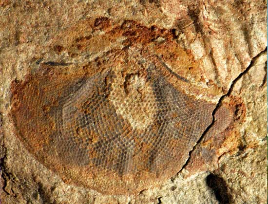 fósil de ojo de organismo marino del Cámbrico