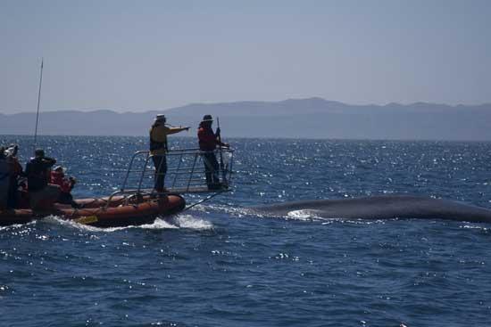 marcado de ballenas