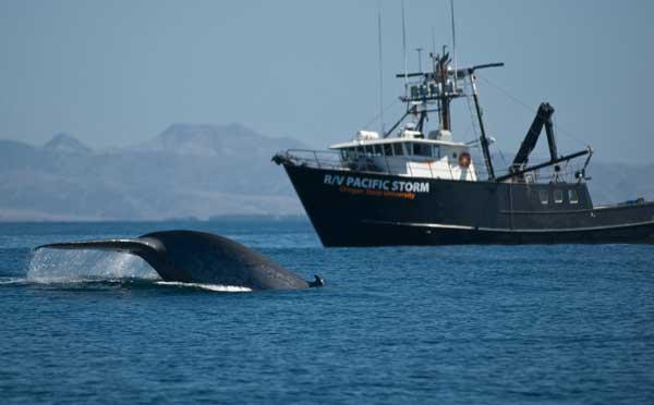 marcado de ballenas por el barco Pacific Storm
