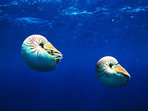 Nautilus (Nautilus pompilius)