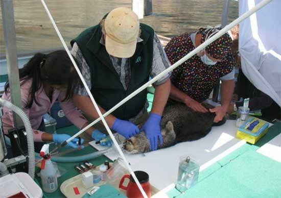 sedación de una nutria marina