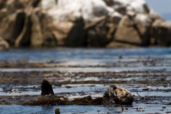 nutrias marinas en la Bahía de Monterrey