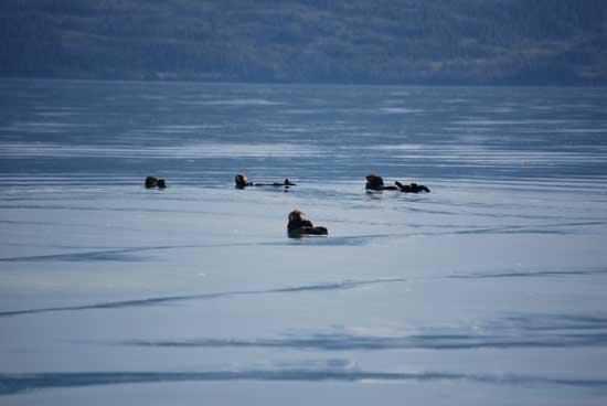 nutrias marinas entre hielos en Prince William Sound