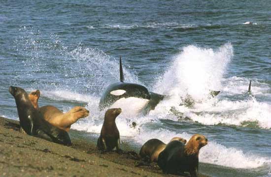 orca cazando focas del norte