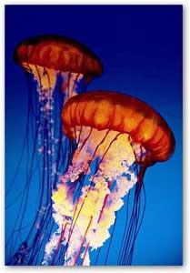medusa ortiga de mar del Pacífico (Chrysaora fuscescens)