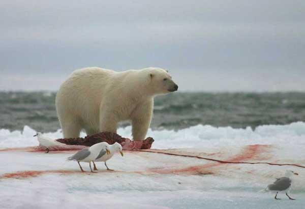 oso polar ha cazado una foca del norte ante unas gaviotas