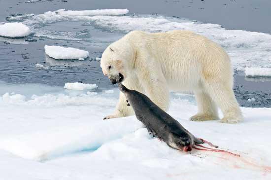oso polar caza una foca