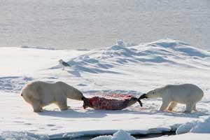 osos polares comiendo una foca del norte