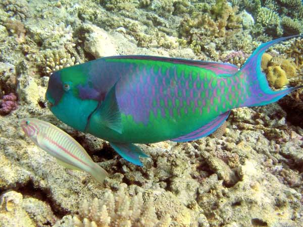 pez loro arco iris