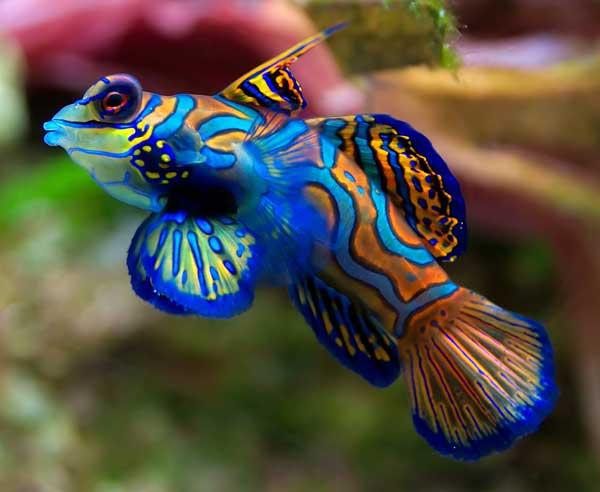 pez mandarín (Synchiropus splendidus)