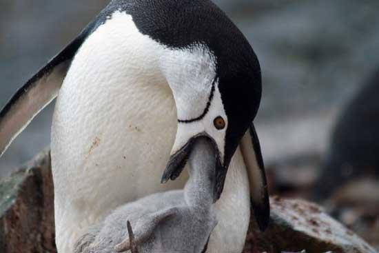 pingüino alimentando con krill a su cría
