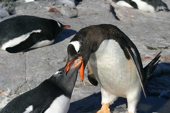 pingüino alimentando a su cría con krill