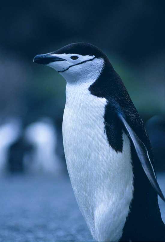 pingüino de barbijo