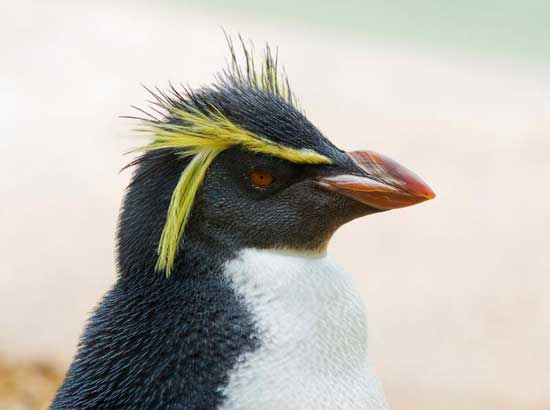 pingüino de cresta erecta