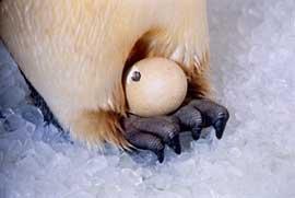 pingüino emperador incubando