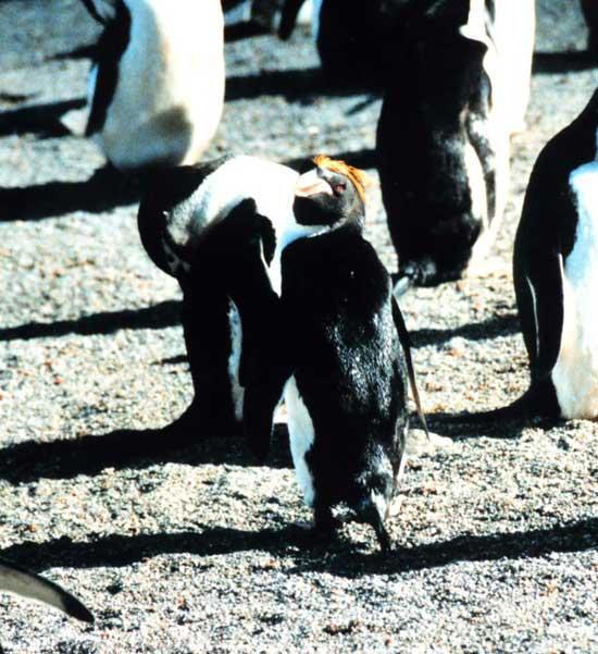 pingüino Macaroni