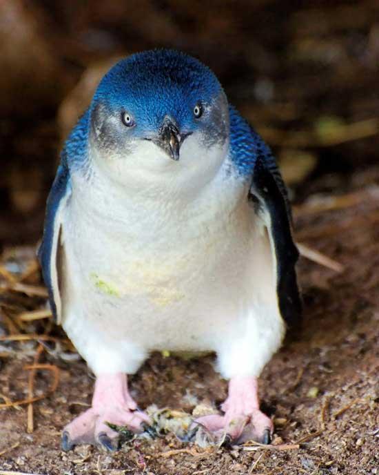 pingüino pequeño azul