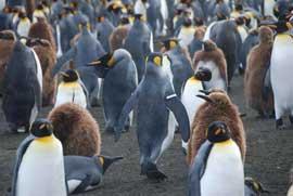 pingüino rey marcado en el ala