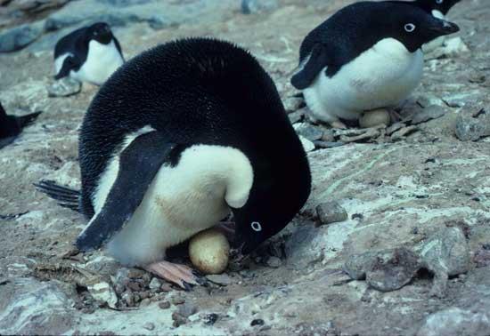 pingüinos de Adelia incubando huevos