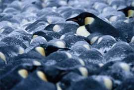 primer plano grupo de pingüinos emperador