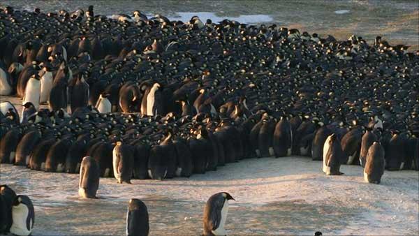 agrupación de pingüinos emperador