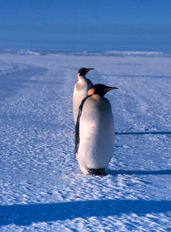 pingüinos emperador cerca del Mar de Ross
