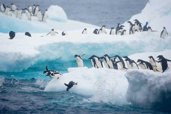pingüinos se lanzan al agua en la Antártida