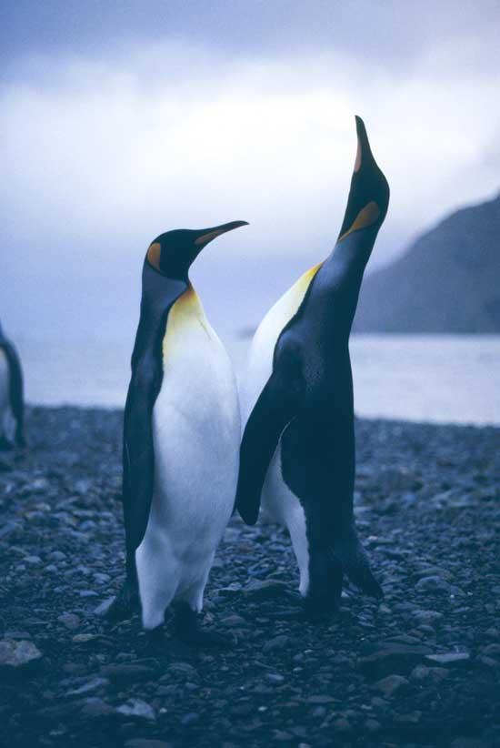 pingüinos rey