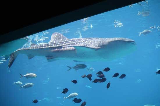 tiburón ballena en el acuario de Georgia