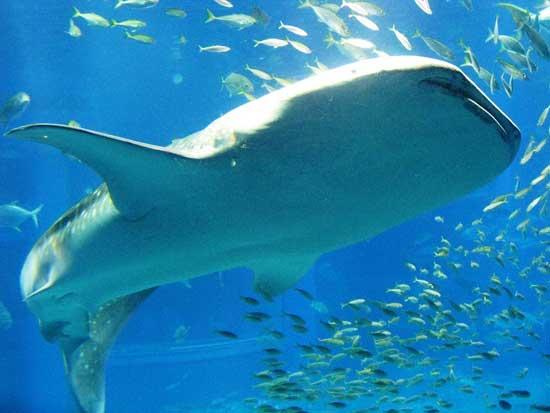 tiburón ballena en el acuario de Osaka