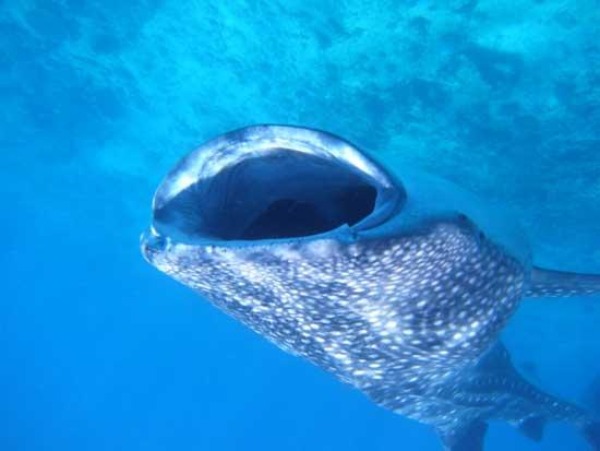 tiburón ballena con la gran boca abierta