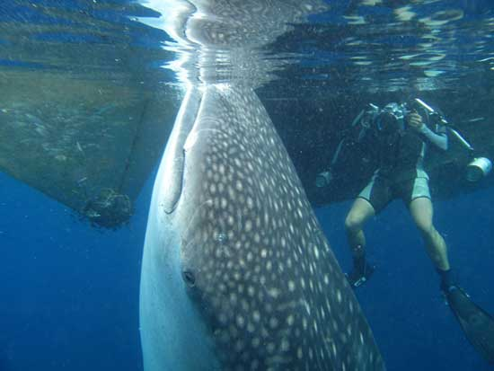 un buzo filma al tiburón ballena