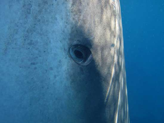 tiburón ballena plano del ojo