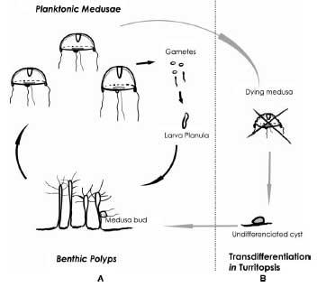 transdiferenciación del hidrozoo Turritopsis dohrnii