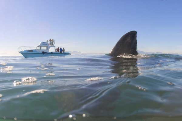 aleta de tiburón navega en el mar