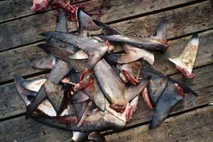aletas de tiburón ilegales