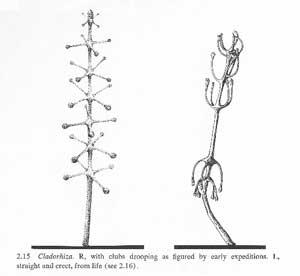 antena Eltanin (Cladorhiza concrescens)