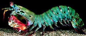 camarón mantis, perfil
